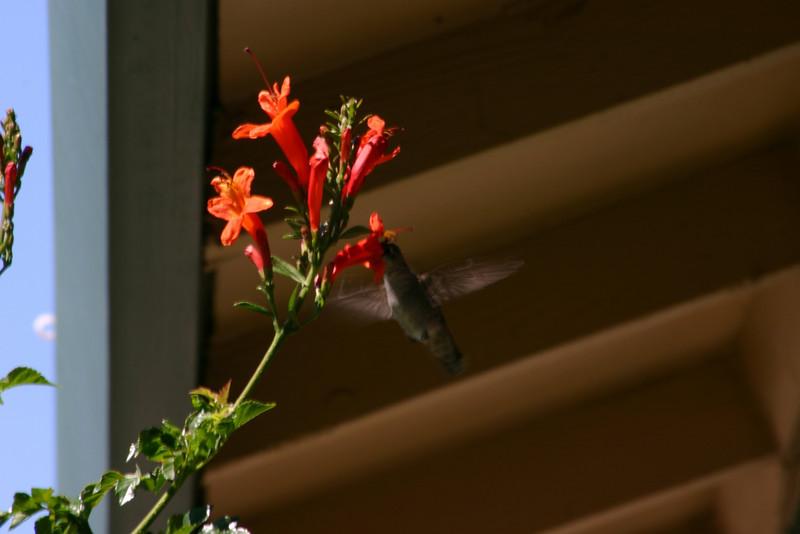 Hummingbird_Playing_272