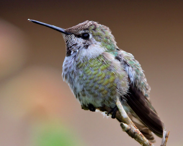 Hummingbird on guard.