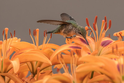 "HUMMINGBIRDS 7948  ""Hummingbird in the Lily Garden""  Grand Portage, MN"