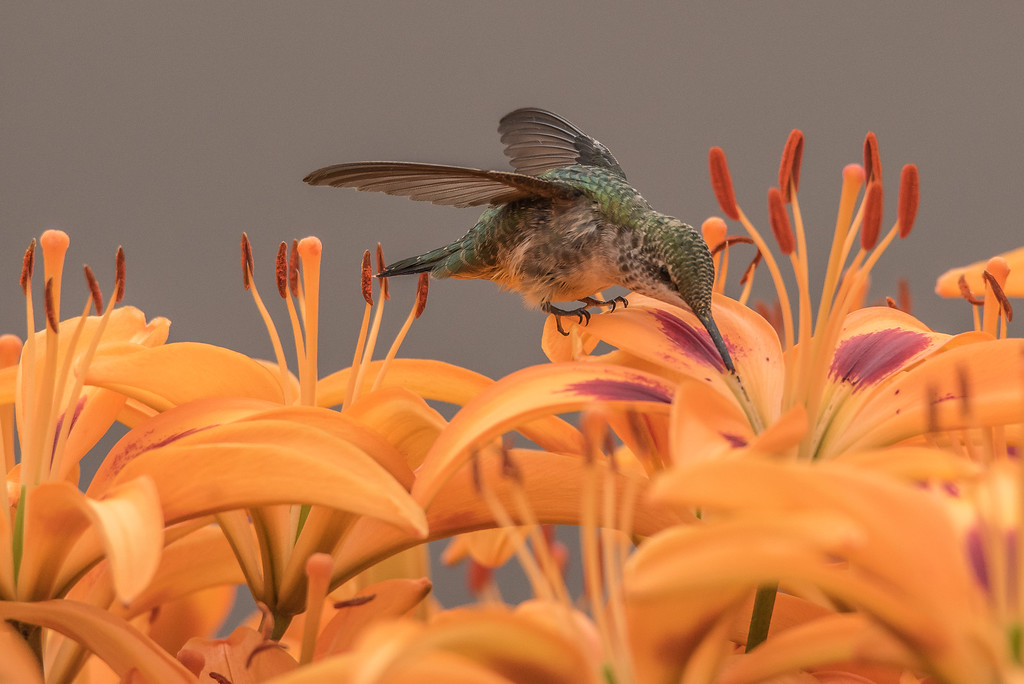 "HUMMINGBIRDS 7948<br /> <br /> ""Hummingbird in the Lily Garden""<br /> <br /> Grand Portage, MN"