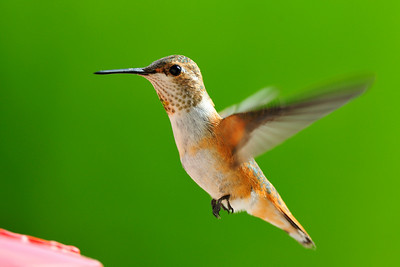 Adult female Rufous Hummingbird Selasphorus rufus  from my bedroom window
