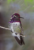 Costa's Hummingbird.