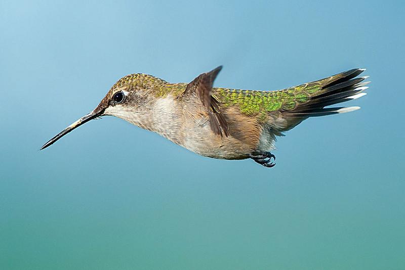 Hummingbirds-DSC_4115