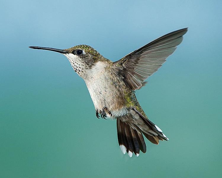 Hummingbirds-DSC_4071