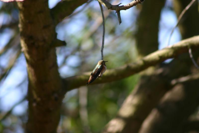Hummingbird_Playing_119