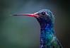 Broad-billed Hummingbird.