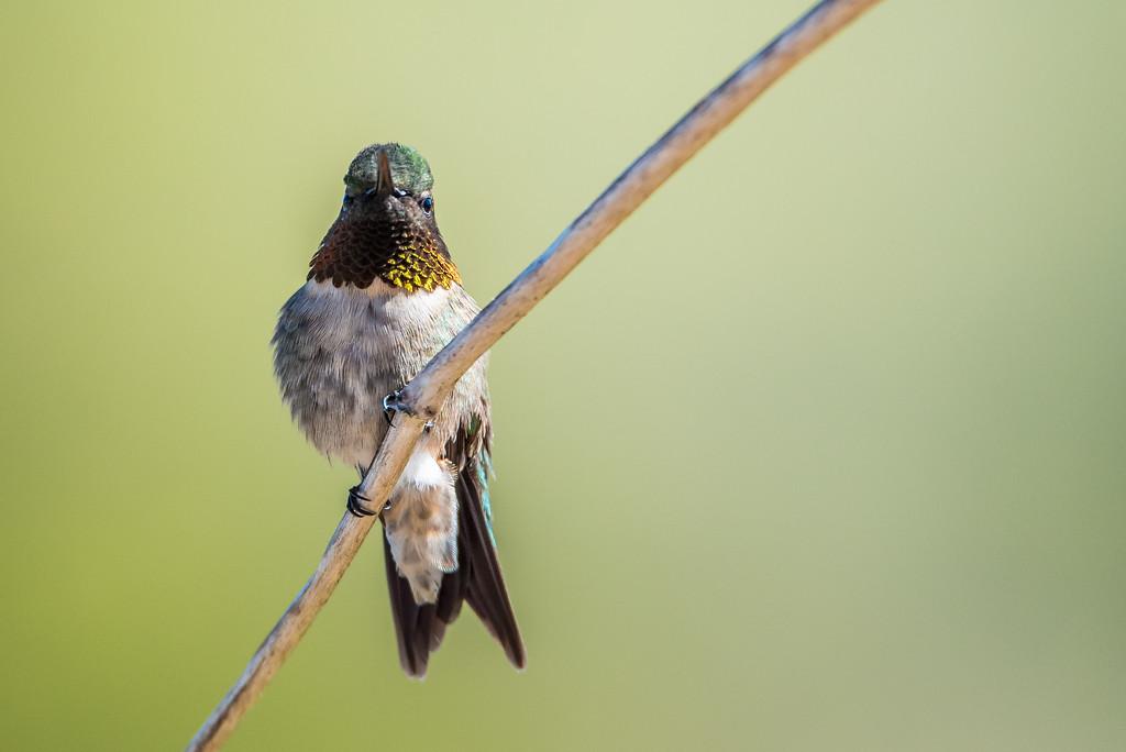 """HUMMINGBIRDS 5344<br /> <br /> """"Spring Hummingbird"""""""