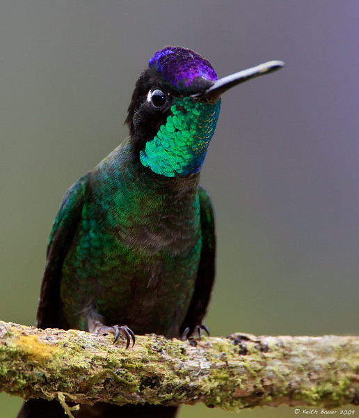 Magnificent Hummingbird - Showing Us His Colors