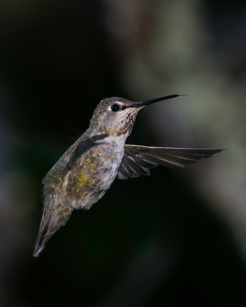 Female Anna's Hummingbird with tongue out