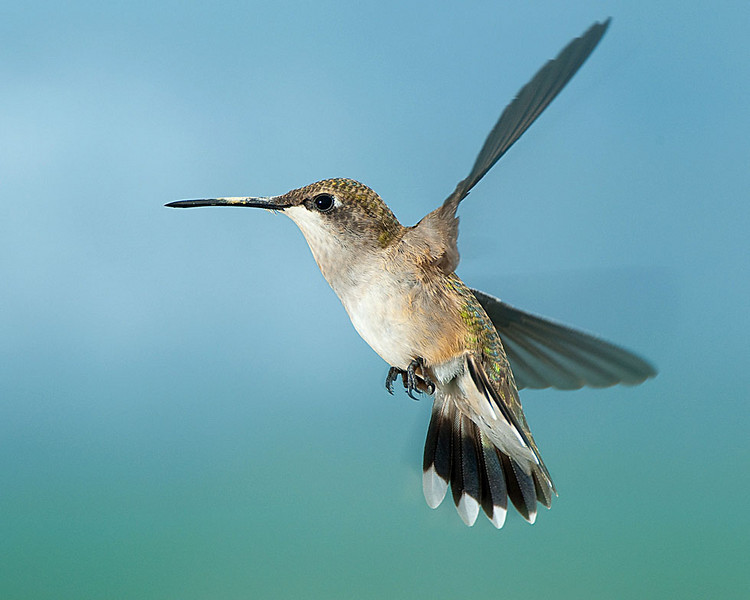 Hummingbirds-DSC_4111
