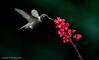 Male - Black Chinned Hummingbird