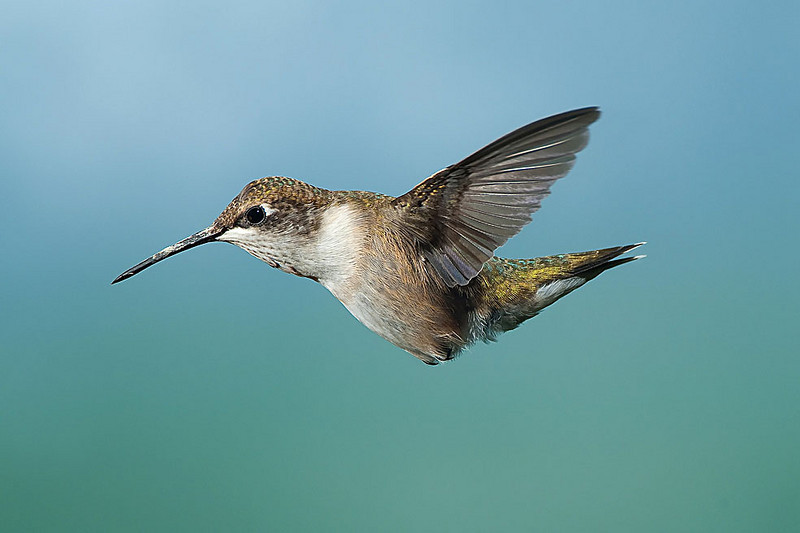 Hummingbirds-DSC_4098