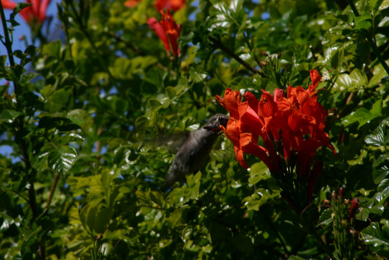 Hummingbird_Playing_243