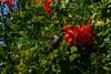 Hummingbird_Playing_243