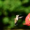 Hummingbird Sep 2013 (7)-001