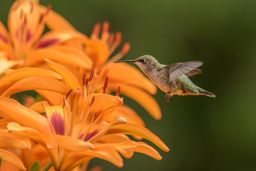 "HUMMINGBIRDS 8132<br /> <br /> ""Hummingbird in the Lily Garden""<br /> <br /> Grand Portage, MN"