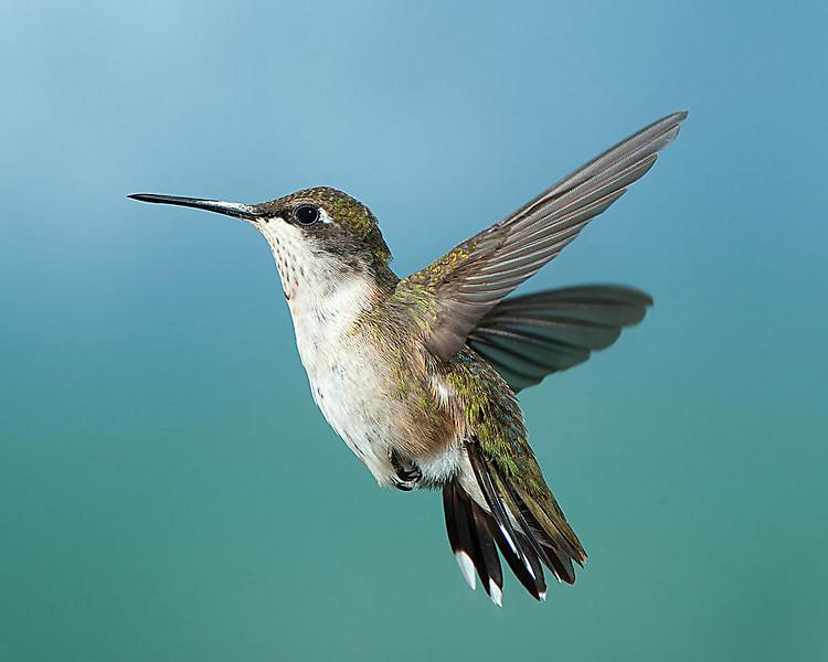 Hummingbirds-DSC_4101