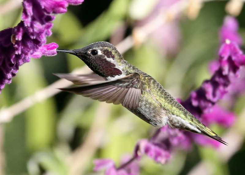 Hummingbird in my back yard.