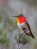 Allan's Hummingbird flicks his tongue between feeding forays.