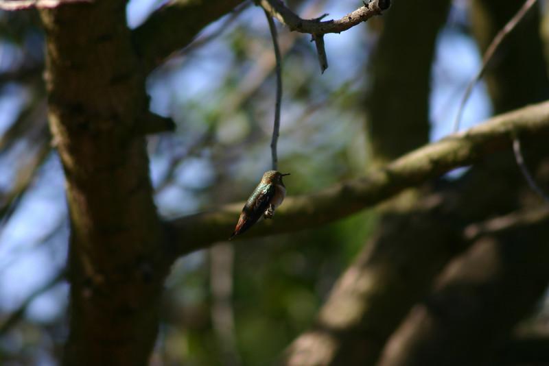 Hummingbird_Playing_120