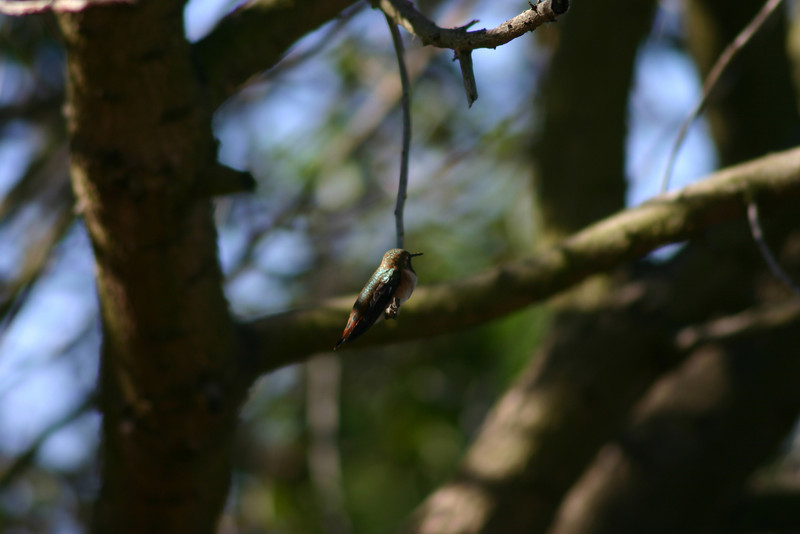 Hummingbird_Playing_120
