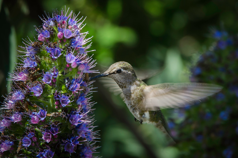 Female Anna's Hummingbird feeding on Statice flowers