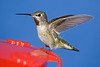 Hummingbird in my backyard at my hummingbird feeder.