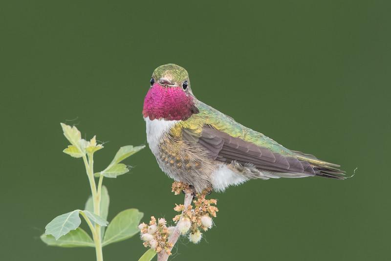 Broad-tailed hummingbird-male