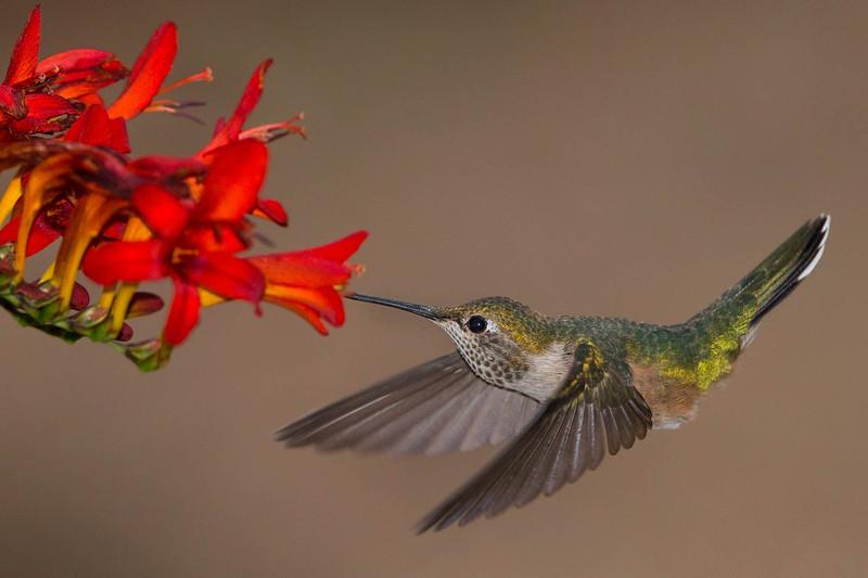 Female Broad Tailed Humming Bird feeding on Lucifer plant.