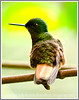 I think this is a chestnut breasted coronet hummingbird;  it is not a particularly good shot --- it has a lot of noise, but, because the bird is so unusual to those of us in the U.S., I've included this image.