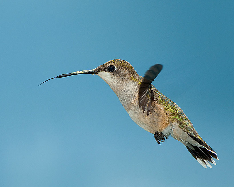 Hummingbirds-DSC_4184