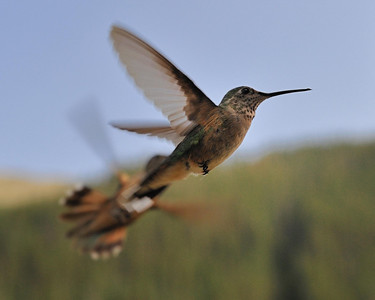 Fighting for the feeder, two hummingbirds on the Mineral Creek, near Silverton Colorado.