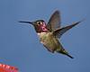 Hummingbird in my backyard at my hummingbird feeder.