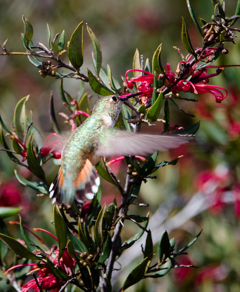 Allen's Hummingbird feeding on Grevillea flowers with tail feathers out. A little extra stability perhaps?