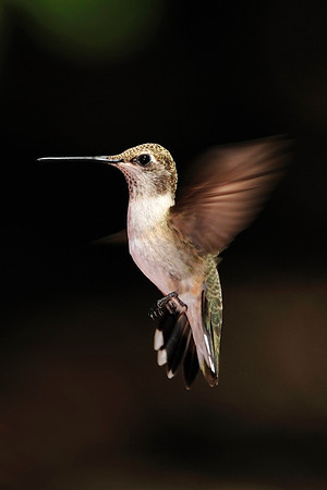 Female Black-Chinned Hummingbird, Archilochus alexandri, Ramsey Canyon AZ