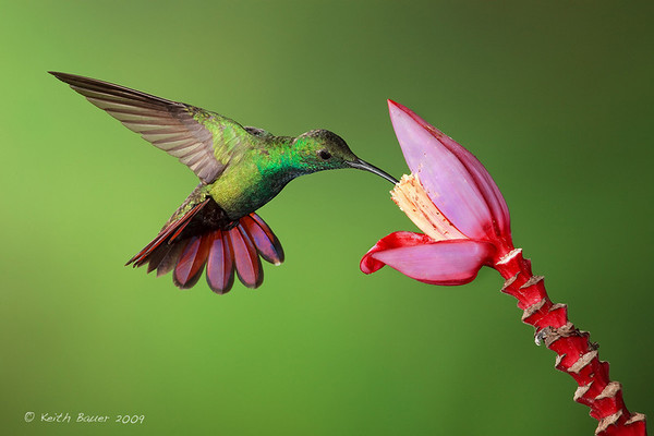 Male Green Breasted Mango Hummingbird