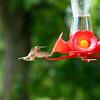 Hummingbirds Aug 2013 (15)-001