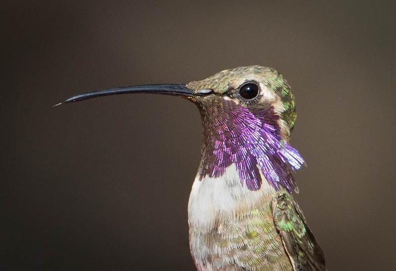 Lucifer Hummingbird.