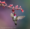 Male Broad Tailed Hummingbird