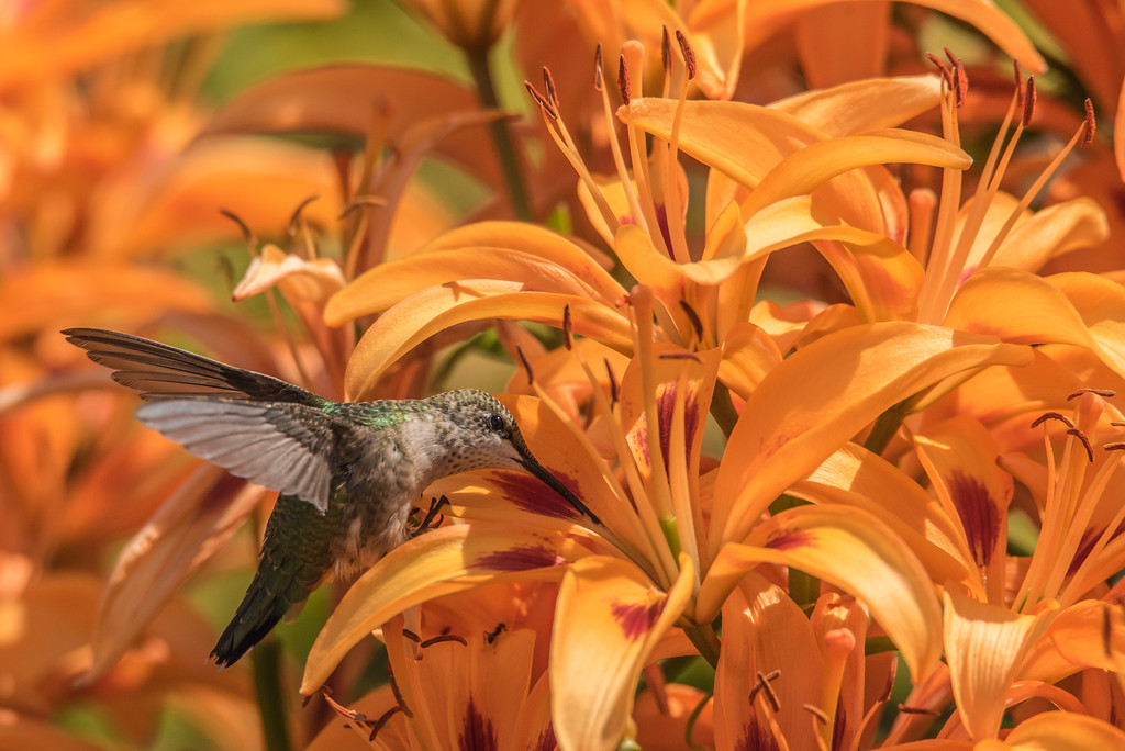 "HUMMINGBIRDS 8234<br /> <br /> ""Hummingbird in the Lily Garden""<br /> <br /> Grand Portage, MN"