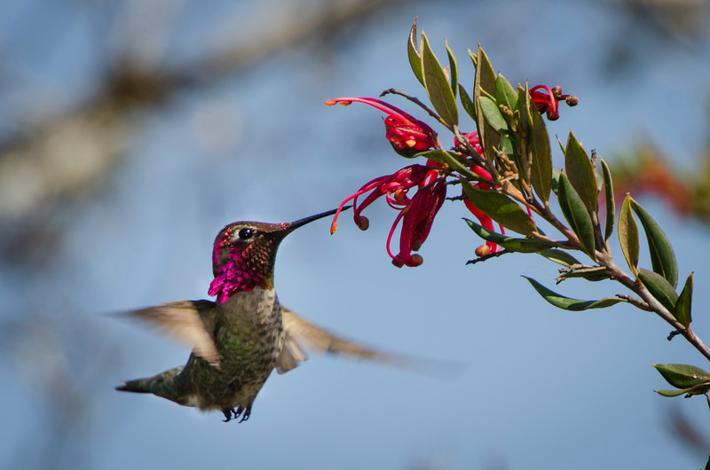 Anna's Hummingbird feeding on Grevillea flowers