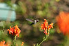 Hummingbird_Playing_283