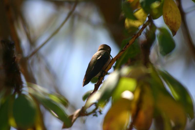 Hummingbird_Playing_330