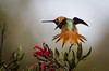 Allen's Hummingbird Full stretch, back view
