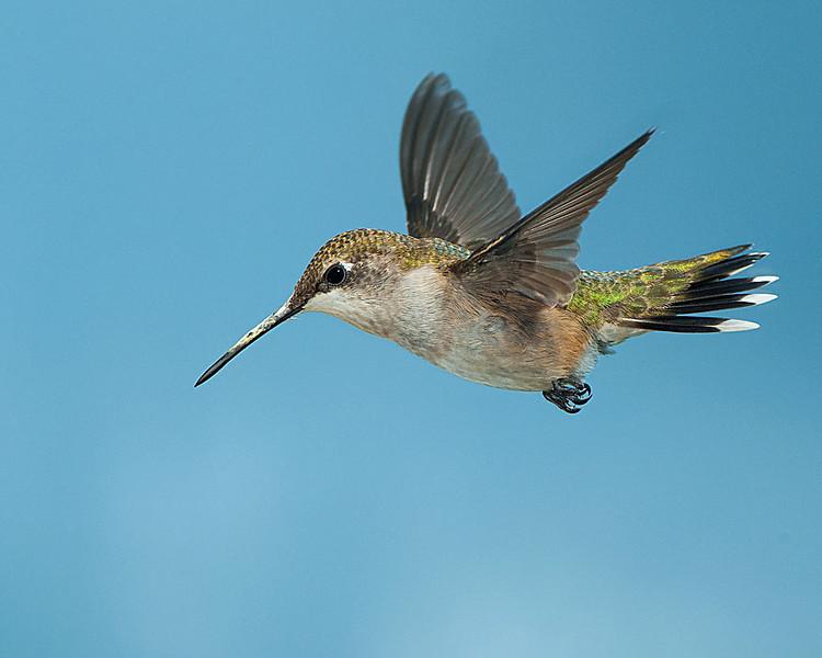 Hummingbirds-DSC_4181