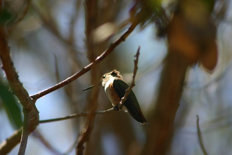 Hummingbird_Playing_327
