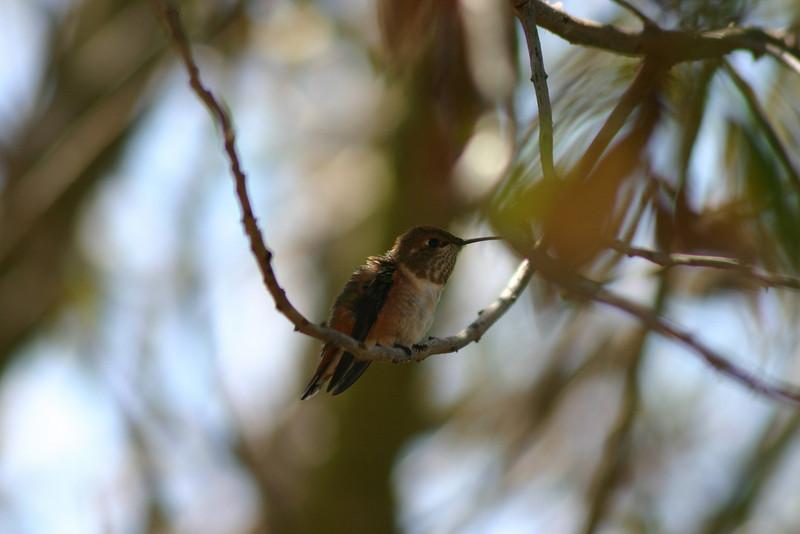 Hummingbird_Playing_319