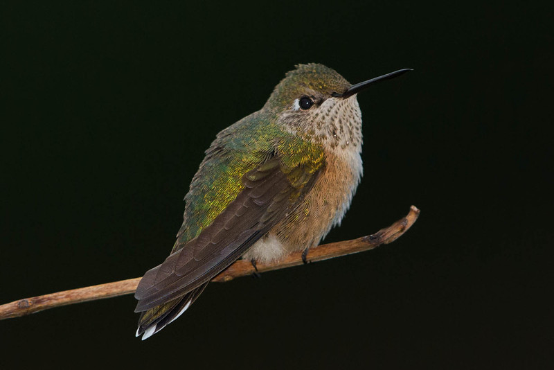 Broad Tailed Humming Bird -female.