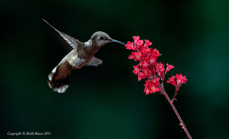 Female - Black Chinned Hummingbird