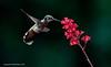 Female - Black Chinned Hummingbird